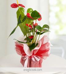 Kırmızı Antoryum Saksı Çiçeği