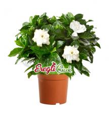 Mis Kokulu Gardenia
