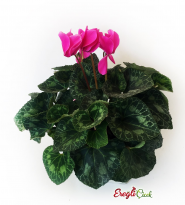 Sıklamen Çiçeği
